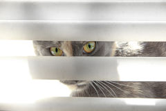 Kot patrzeje przez stor Obrazy Stock