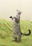 Kot patrzeje wierzchołek, przestrzeń dla reklamować i tekst, kot głowa, Młoda ciekawa kot pozycja na kanapie, śliczny śmieszny ko Obraz Royalty Free