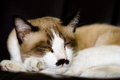 kot śpi Zdjęcie Stock