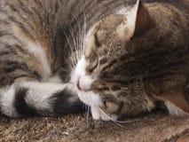 kot śpi Obraz Royalty Free