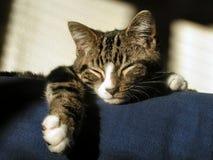 kot śpi Obrazy Royalty Free