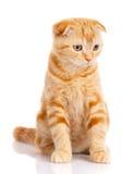 Kot, piękny kot, purebred kot, puszysty kot, dumny kot, figlarki rudzielec - portret Szkocki kot Zdjęcia Stock
