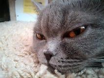 Kot śpi na dywanie Obraz Stock