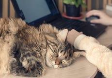 Kot śpi na stole Obraz Royalty Free