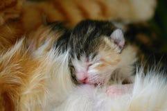 Kot pielęgnuje jej nowonarodzone figlarki Zdjęcie Royalty Free