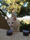 Kot pije mleko w ranku obraz royalty free