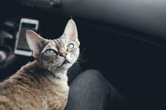 Kot podróżuje w samochodzie Fotografia Royalty Free