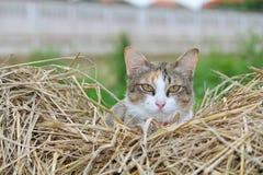 Kot pokazuje swój głowę. Obrazy Royalty Free