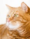 kot pomarańcze Zdjęcia Royalty Free