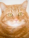 kot pomarańcze Fotografia Stock