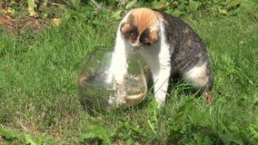 Kot próby chwyta ryba od szklanego akwarium zielonej trawy w ogródzie 4K zbiory