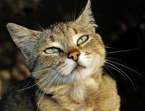 kot przygląda się damy Zdjęcie Royalty Free