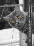 kot przygląda się kolor żółty zdjęcia stock