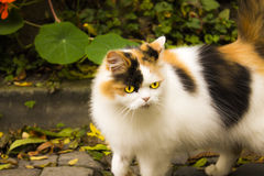 kot przygląda się kolor żółty Zdjęcia Royalty Free