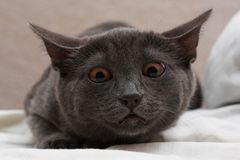 kot przygląda się pomarańcze Obrazy Royalty Free