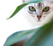 kot przygląda się s Obrazy Royalty Free