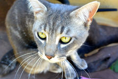 kot przygląda się szarego kolor żółty Fotografia Royalty Free