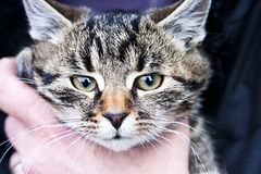 kot ręczny Obraz Stock