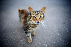 kot rażących Obraz Royalty Free