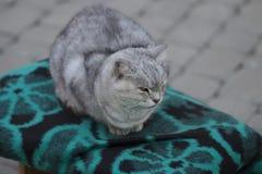 kot słodkie gray Obrazy Stock