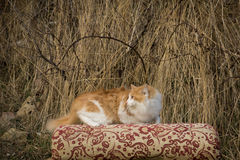 kot się Zdjęcie Royalty Free