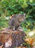 Kot siedzi na drzewnym fiszorku i spojrzeniach z liśćmi, jesień Obrazy Royalty Free