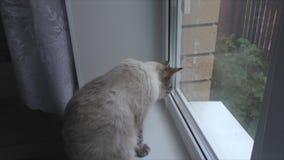 kot siedzi na windowsill i patrzeje out okno zbiory wideo