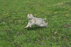 Kot Skacze obraz royalty free