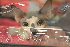 Kot Sphynx traken patrzeje ostrożnie przez przejrzystej bariery zdjęcie royalty free