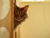 Kot szarość z długie włosy Zdjęcie Royalty Free