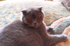 Kot, Szkocki, Tikhon, Owłosiony przyjaciel obraz stock
