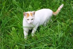 Kot szuje na zielonej trawie Fotografia Stock
