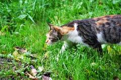 Kot szuje na zielonej trawie Fotografia Royalty Free