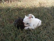 Kot, tło, trawa, biel, czerń, potomstwa, ssak, koci, figlarka, kiciunia piękna, śliczny, natura, oczy, futerko, cukierki, litt Obrazy Royalty Free