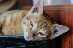 Kot tajlandzki oczy pomarańczowy kot jest półsenny obrazy royalty free