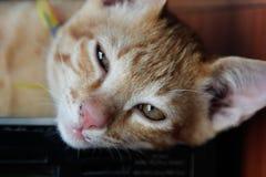 Kot tajlandzki oczy pomarańczowy kot jest półsenny zdjęcia stock