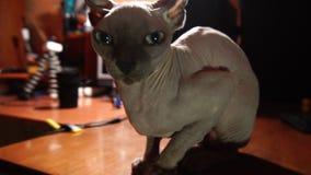 Kot traken sfinks zamknięty w górę zdjęcie wideo