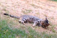 kot trawy odpocząć Zdjęcie Royalty Free