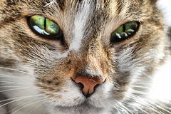 Kot twarz, kotów oczy Zdjęcie Royalty Free
