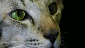 Kot twarz na czerni zdjęcie wideo