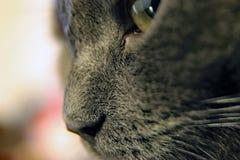 Kot twarzy zakończenie, makro- fotografia zdjęcia royalty free