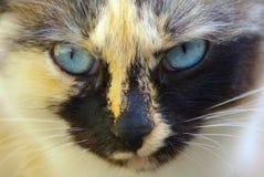 Kot twarzy zakończenie up Zdjęcie Royalty Free