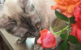 Kot wącha menchii róży Obrazy Stock