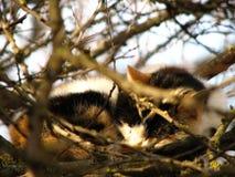Kot wśród gałąź Obrazy Royalty Free