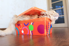 Kot wśrodku pudełka Zdjęcie Royalty Free