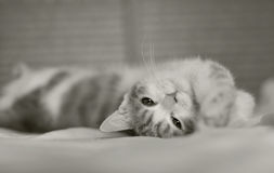 Kot w łóżku Obraz Stock