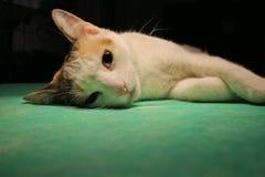 Kot w anestezi zdjęcie royalty free