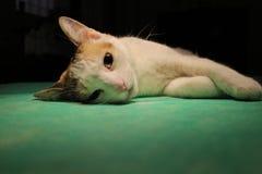 Kot w anestezi fotografia stock