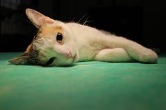 Kot w anestezi zdjęcia stock