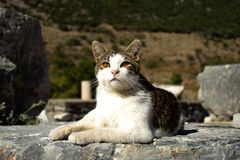 Kot w Ephesus - Indyczy august 2018 obraz stock